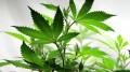 naturalna marihuana
