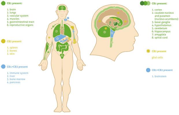 system endokannabinoidowy