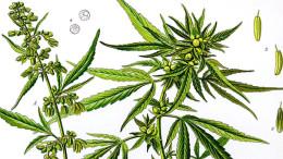 konopie a marihuana
