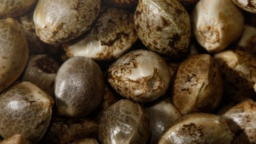 nasiona konopi